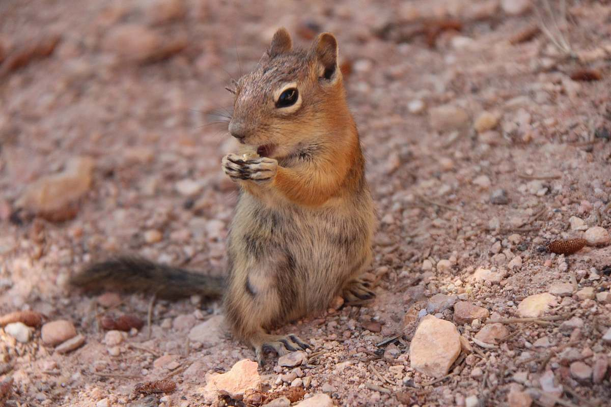 stock photos free  of rodent brown squirrel standing on gravel squirrel