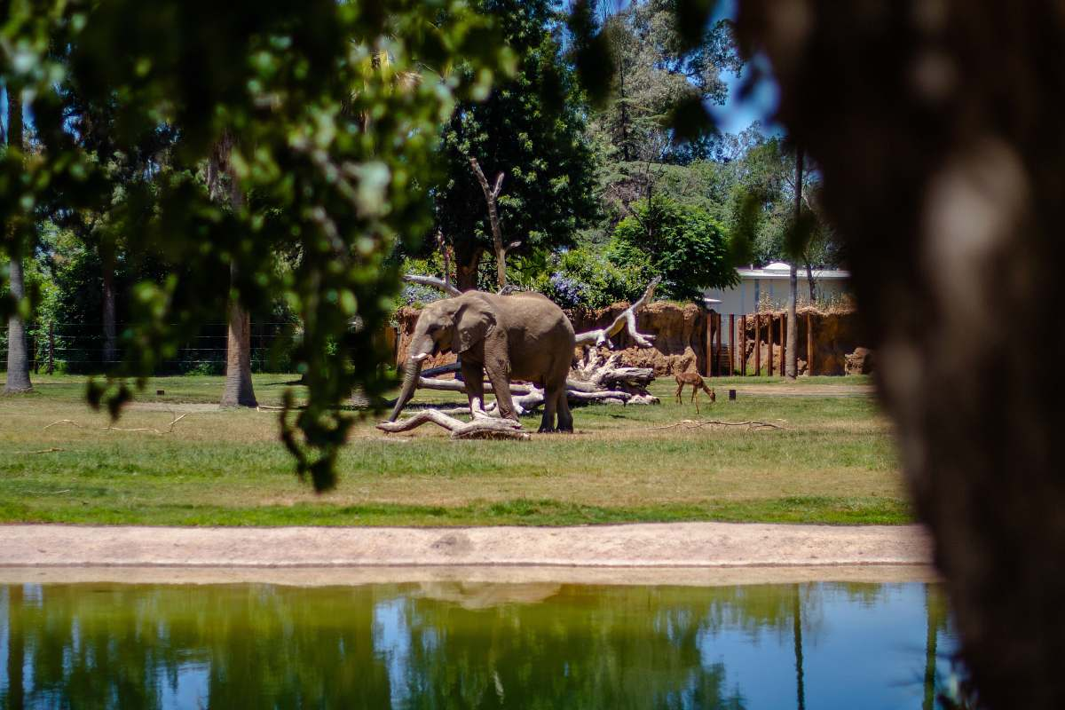 stock photos free  of elephant gray elephant on grass field mammal