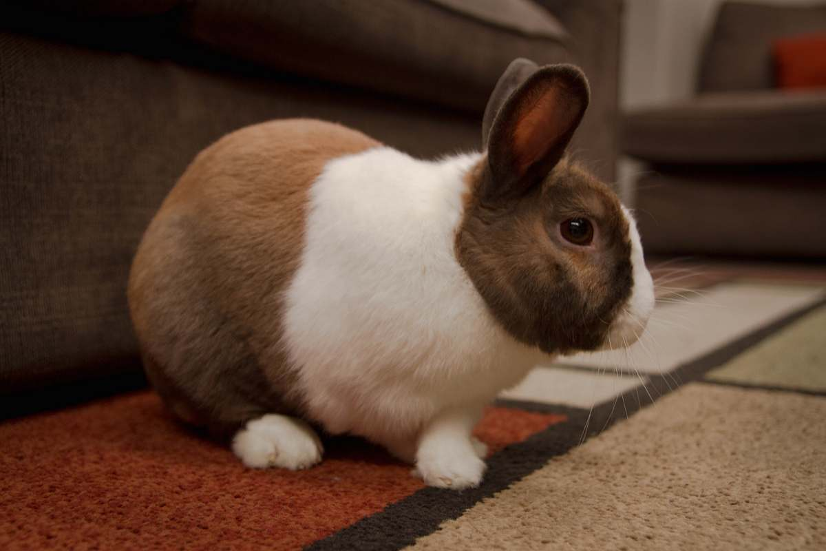 stock photos free  of pet white and brown rabbit mammal
