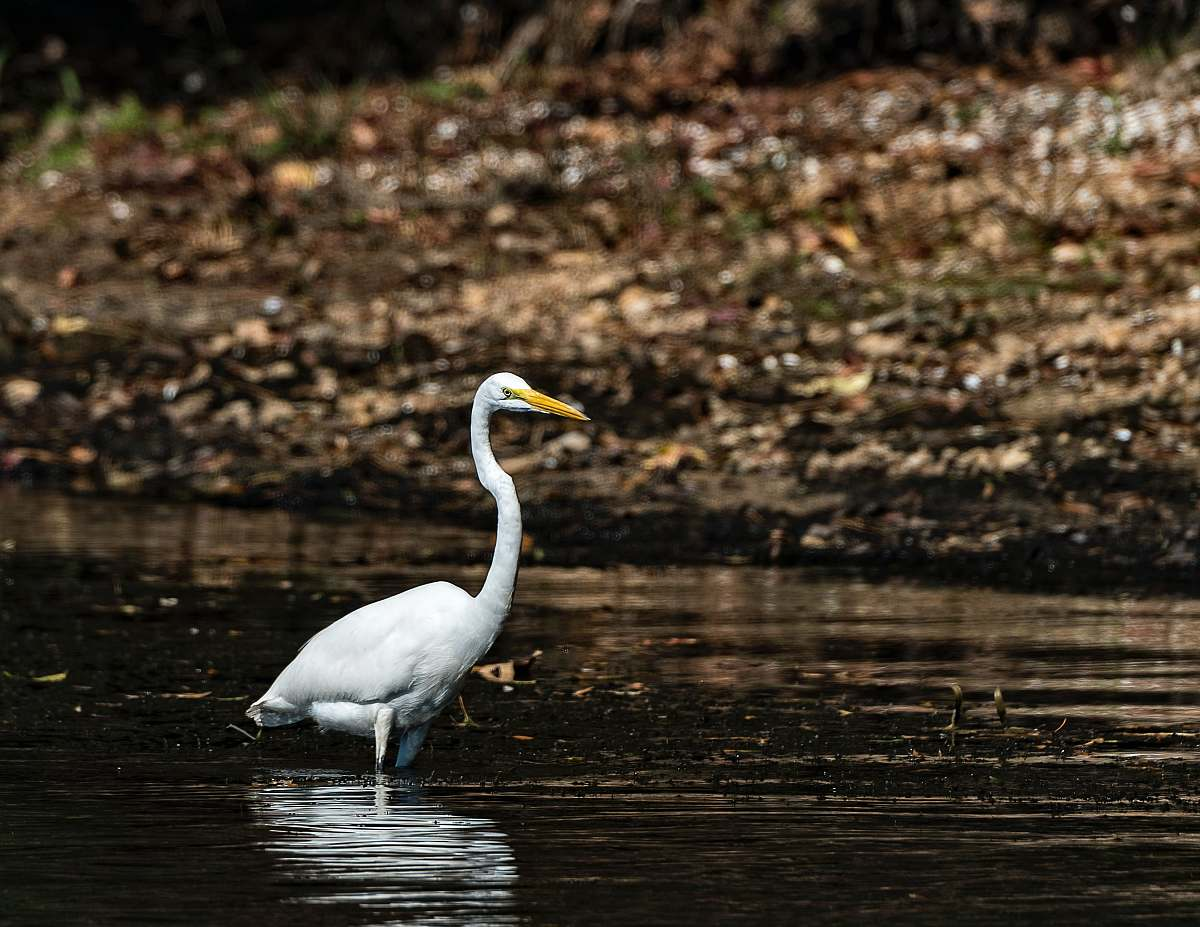 stock photos free  of bird white bird on lake ardeidae