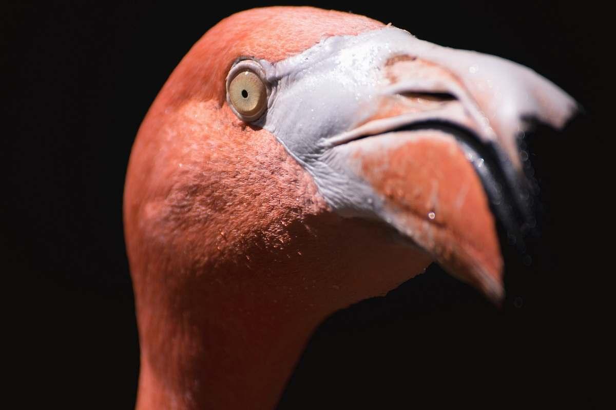 stock photos free  of animal macro shot photography of pink flamingo flamingo