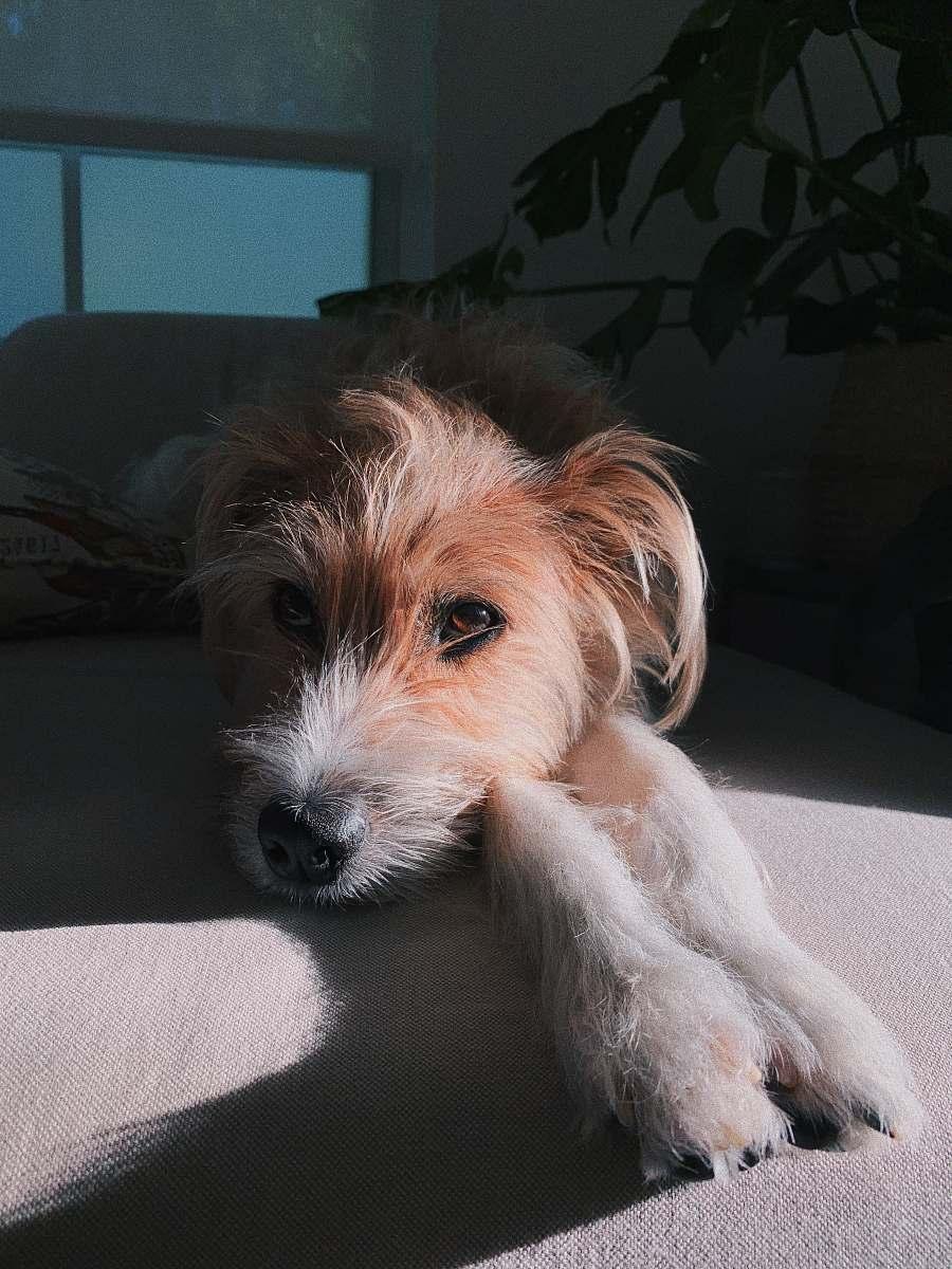 stock photos free  of mammal brown dog on sofa animal