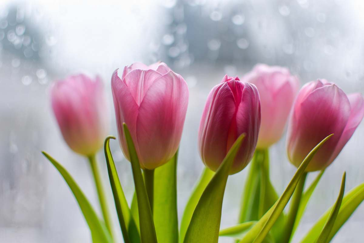 stock photos free  of tulip macro photography of pink tulips blossom