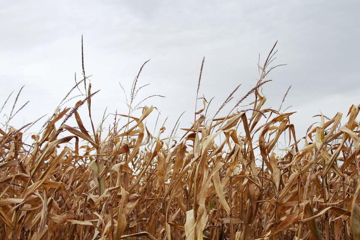 stock photos free  of flora corn field under gray sky grain