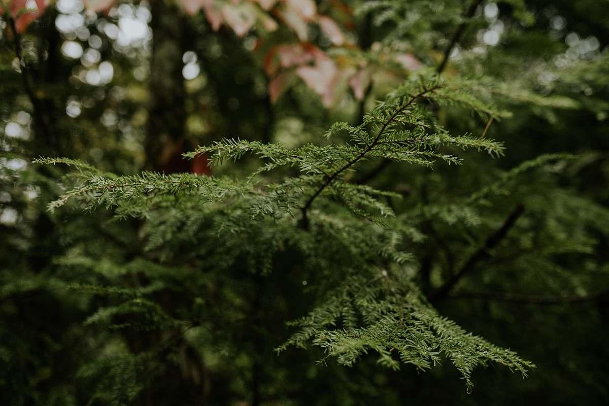 stock photos free  of moss green pine plant tree