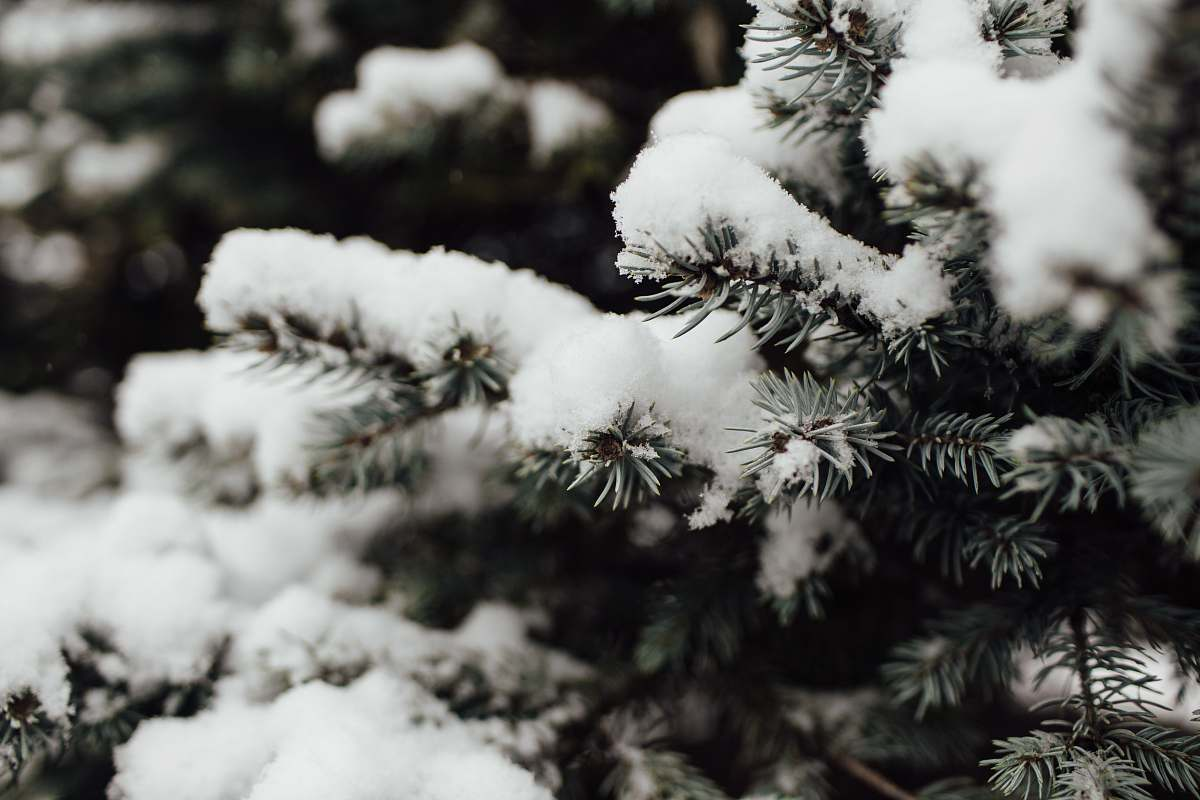 stock photos free  of conifer snow covered tree in macro photography flora