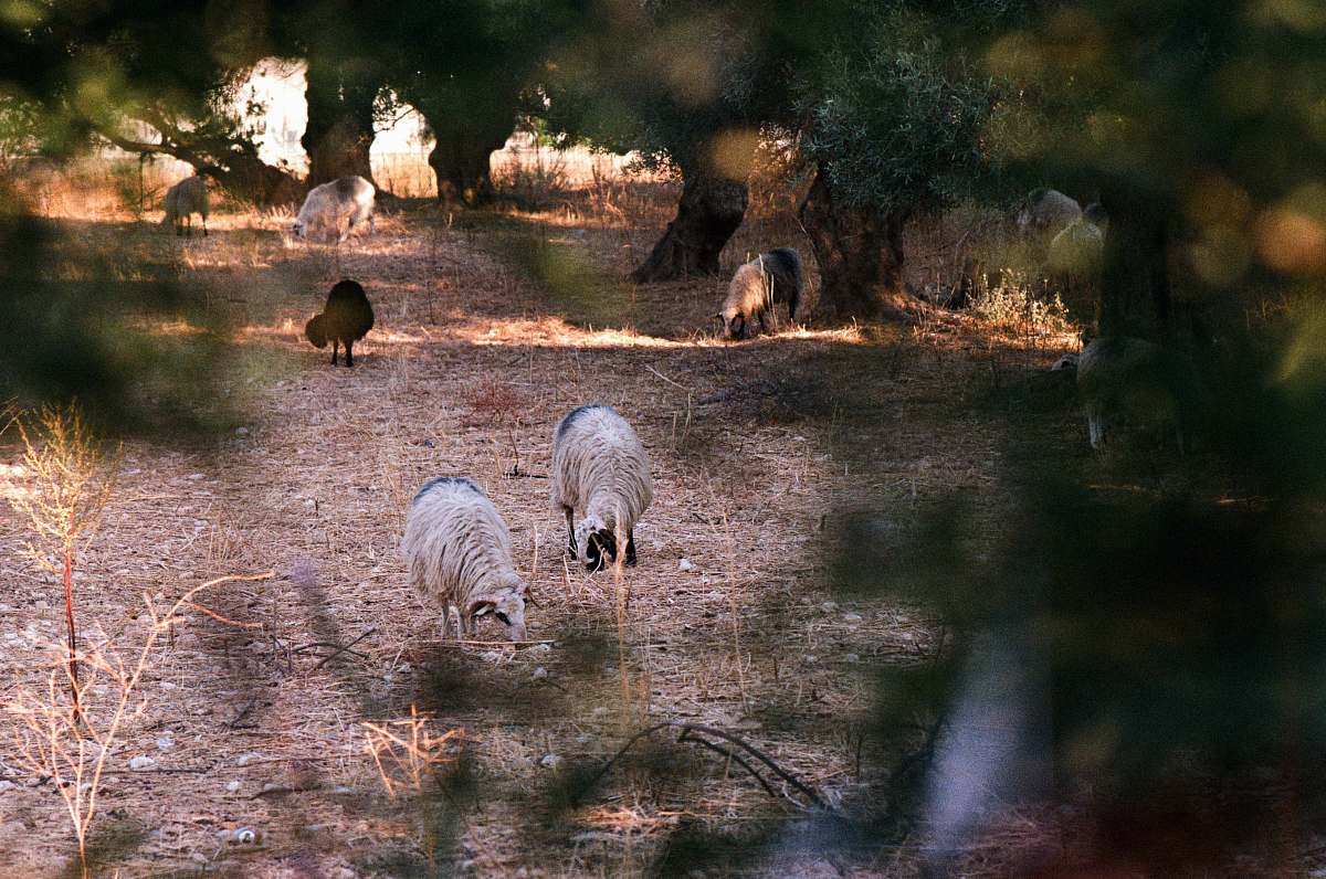 stock photos free  of mammal animals on soil ground near trees sheep