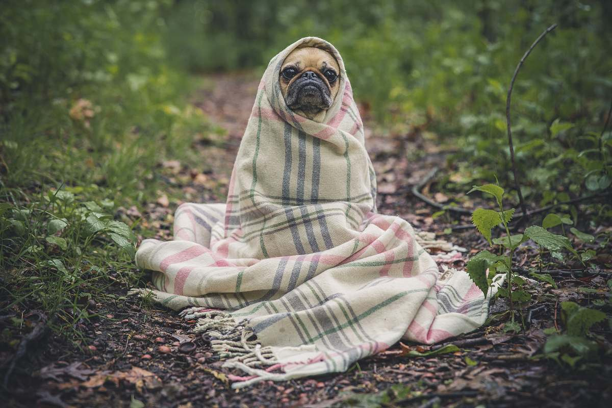 stock photos free  of dog fawn pug covered by Burberry textile between plants pug