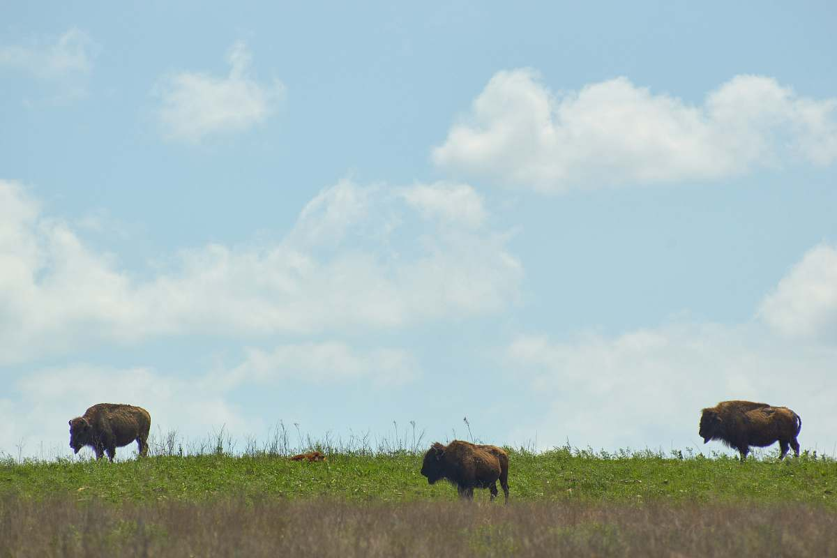 stock photos free  of cattle three brown animals cow