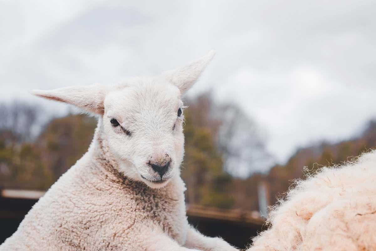 stock photos free  of sheep white goat mammal