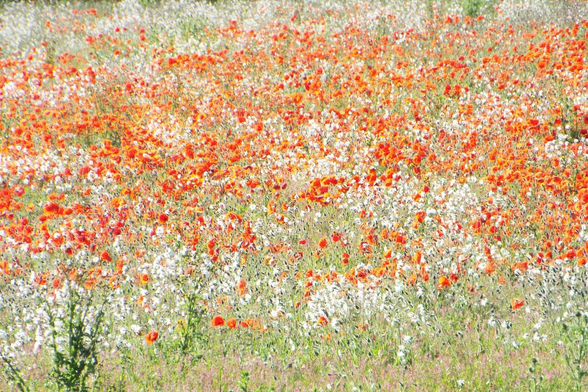 Wild Flower Bed Of Flowers Painting Poppy Image Free Stock Photo