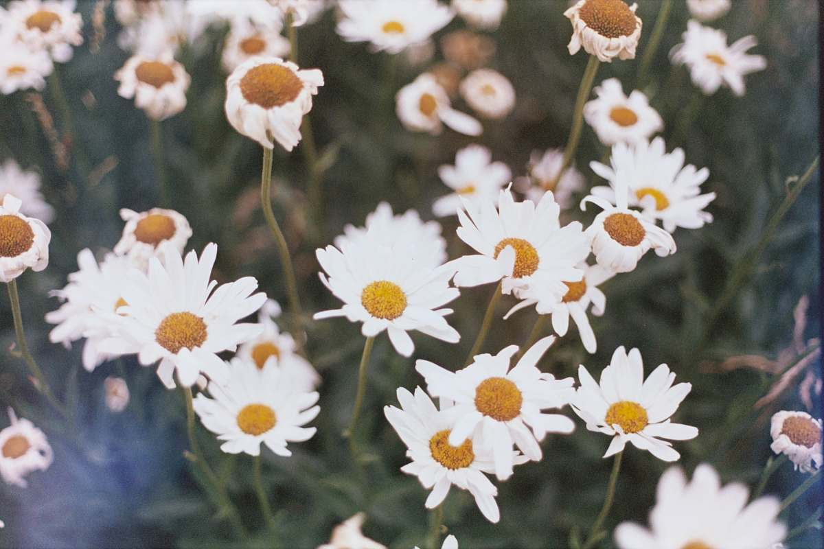 stock photos free  of daisies selective focus photo of aster flowers daisy