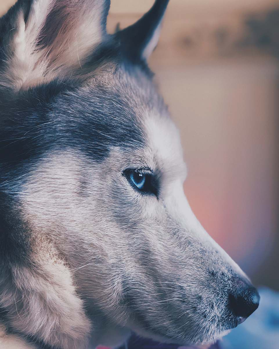 stock photos free  of dog adult white and gray Siberian Husky canine