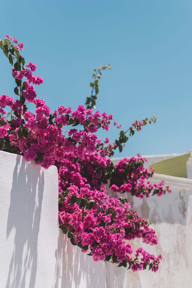 stock photos free  of santorini pink flowers with green leaves greece