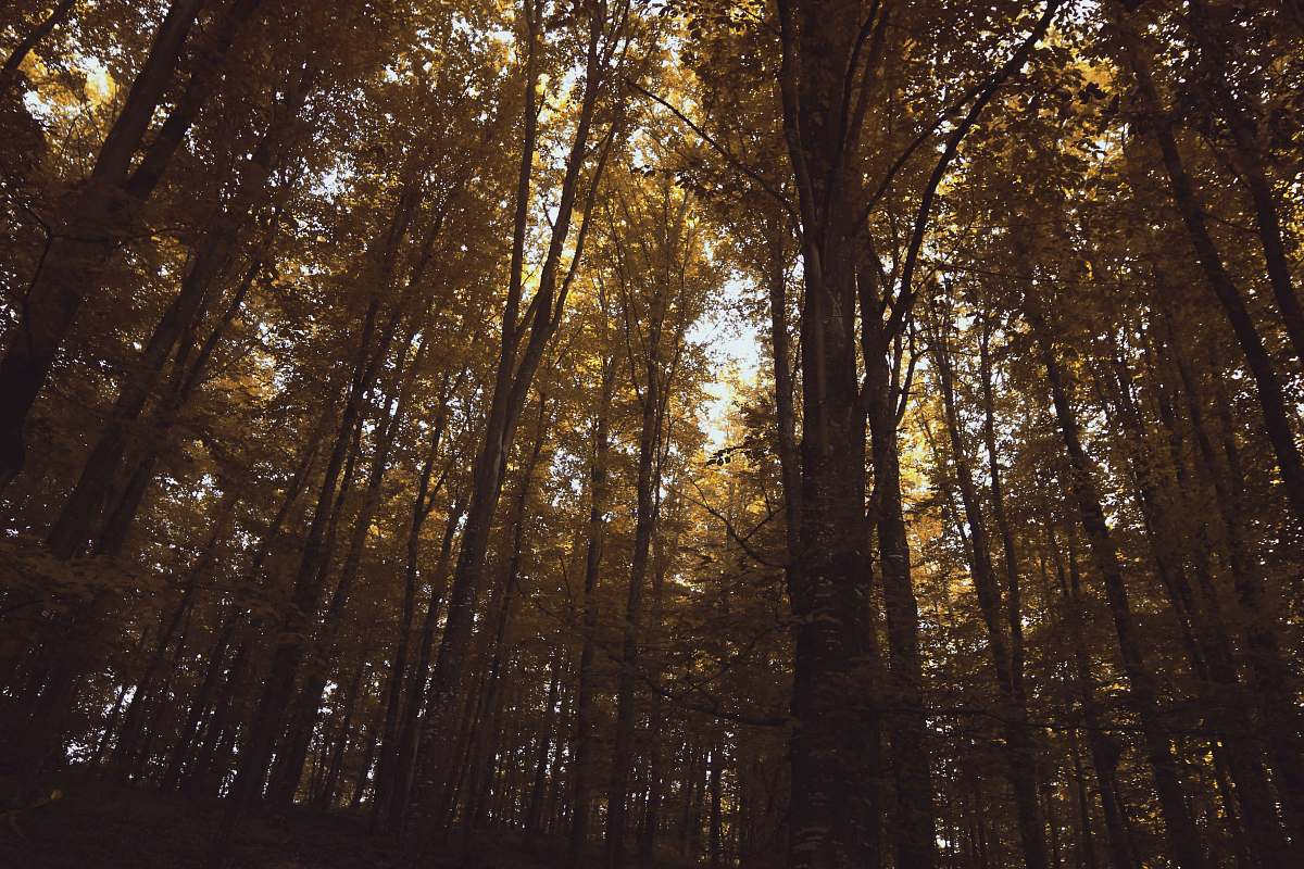 stock photos free  of tree low angle photography of tall trees during daytime vegetation