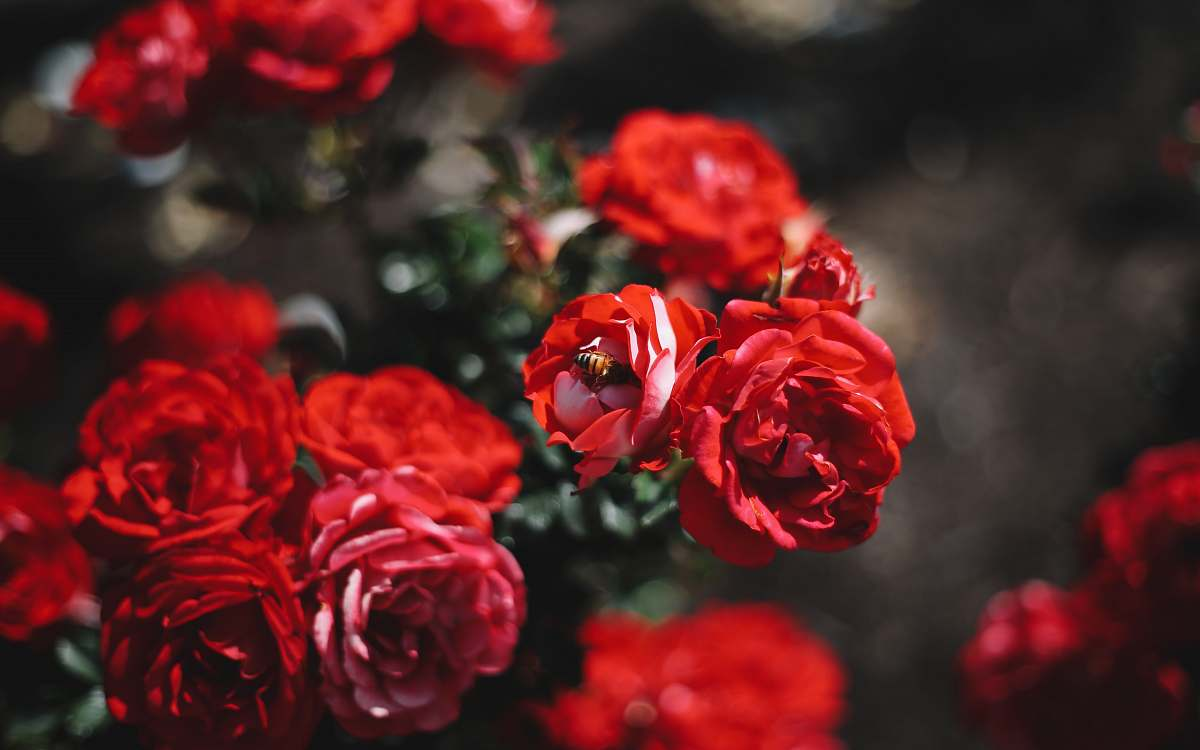 stock photos free  of flower shallow focus photography of red flower rose