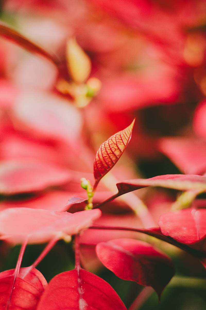 stock photos free  of plant red leaf plant flower