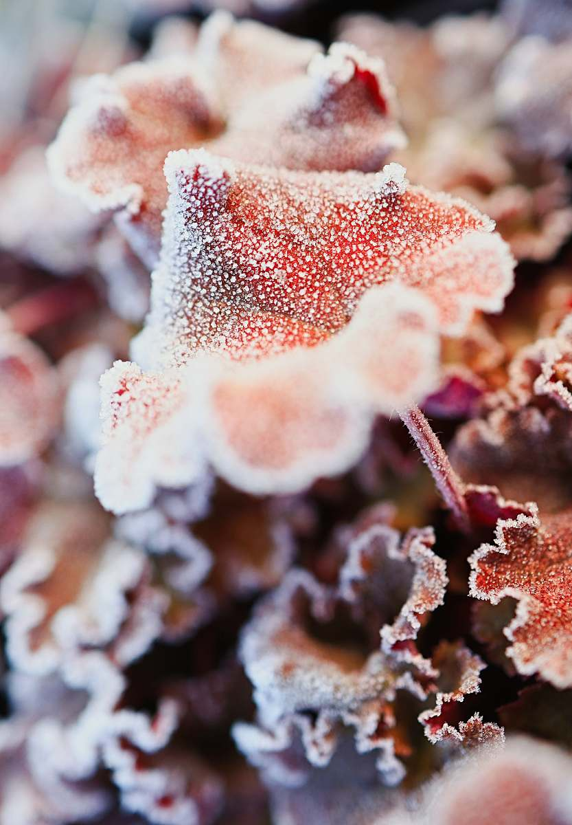 stock photos free  of nature white and brown plant in close up photography ice