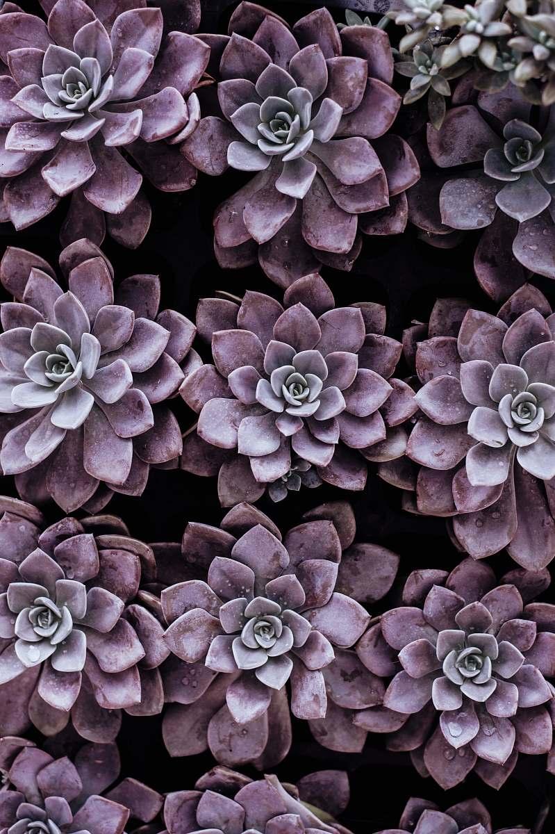 stock photos free  of nature purple succulent plants flower