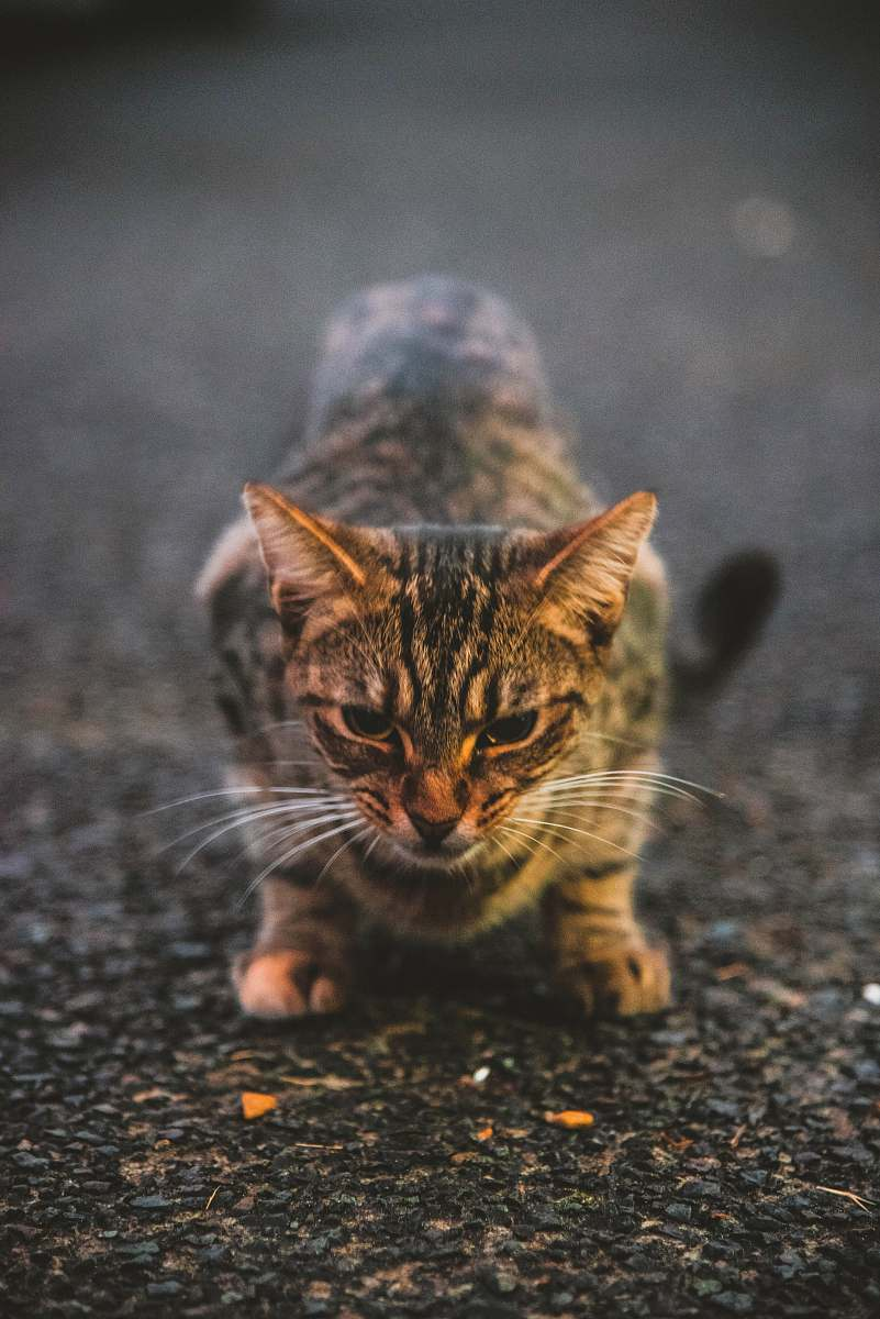 stock photos free  of mammal gray cat on ground pet