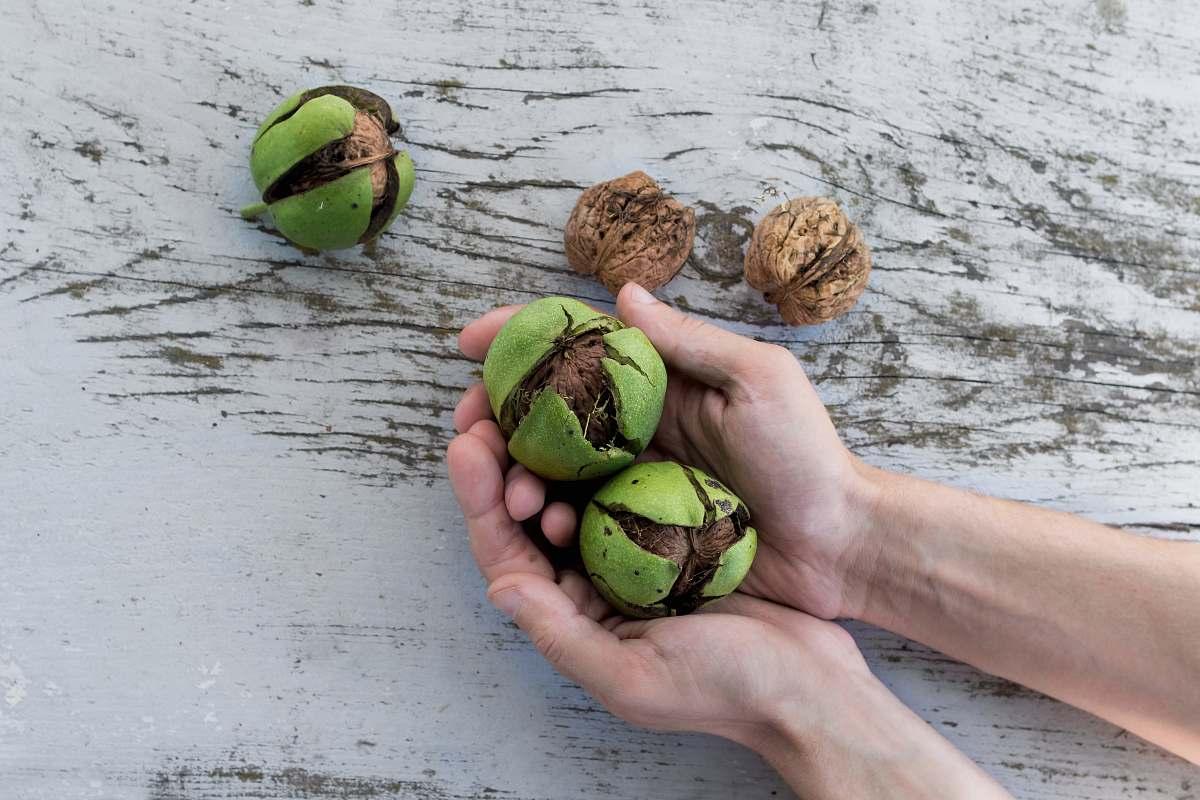 stock photos free  of fruit person holding hazelnut seed