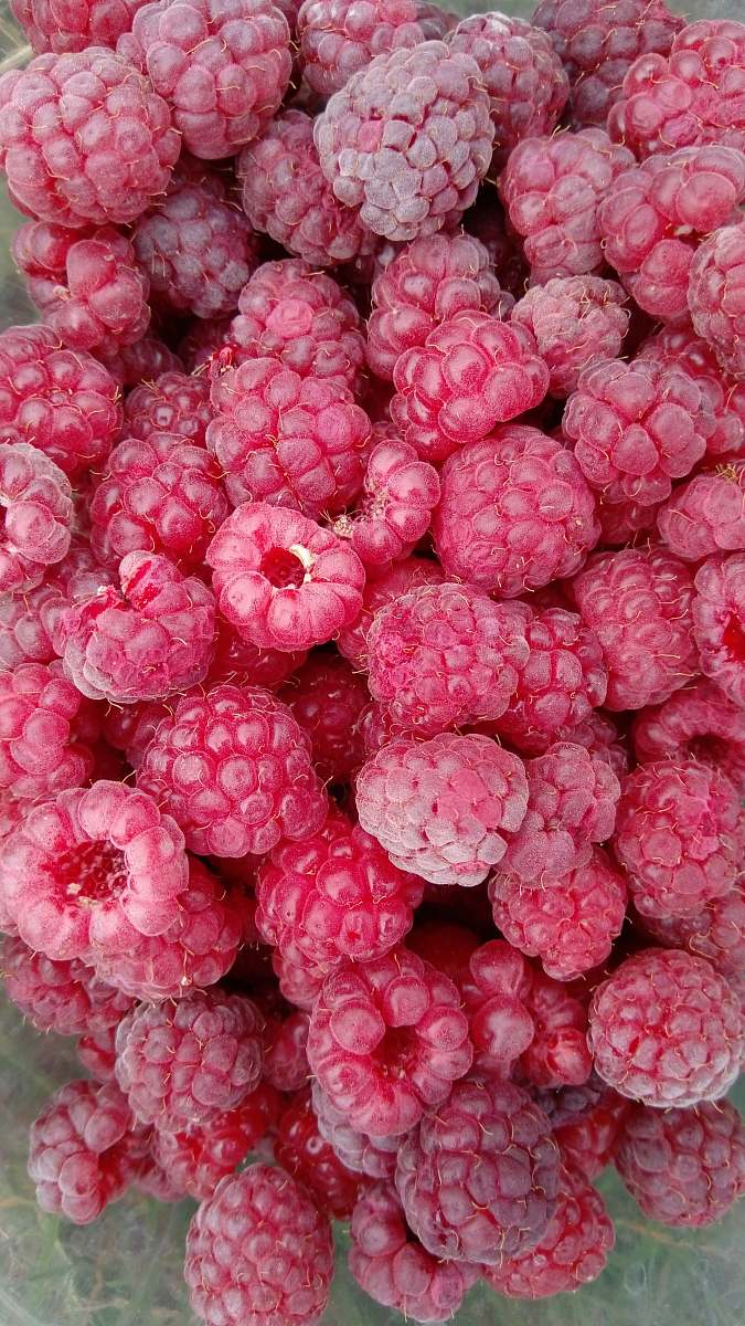 stock photos free  of plant raspberry fruits fruit