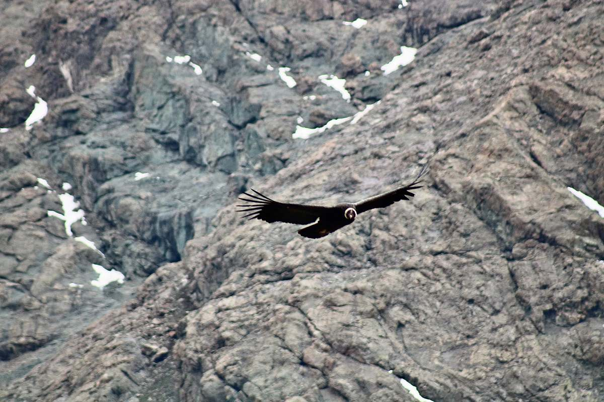 stock photos free  of bird black bird flying near rocky mountain vulture