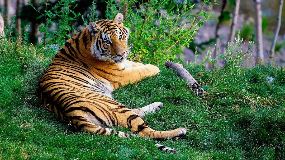stock photos free  of wildlife brown and black tiger lying on green grass during daytime tiger