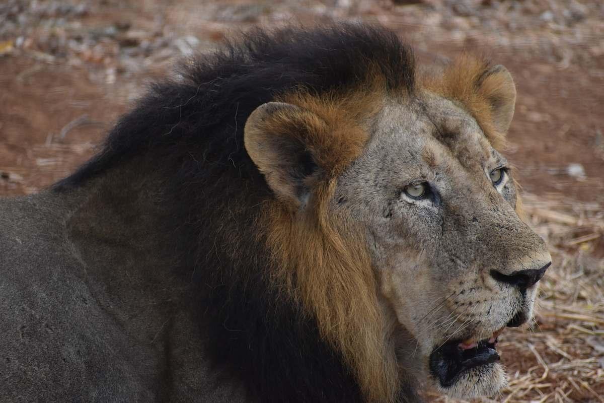 stock photos free  of mammal brown lion lion