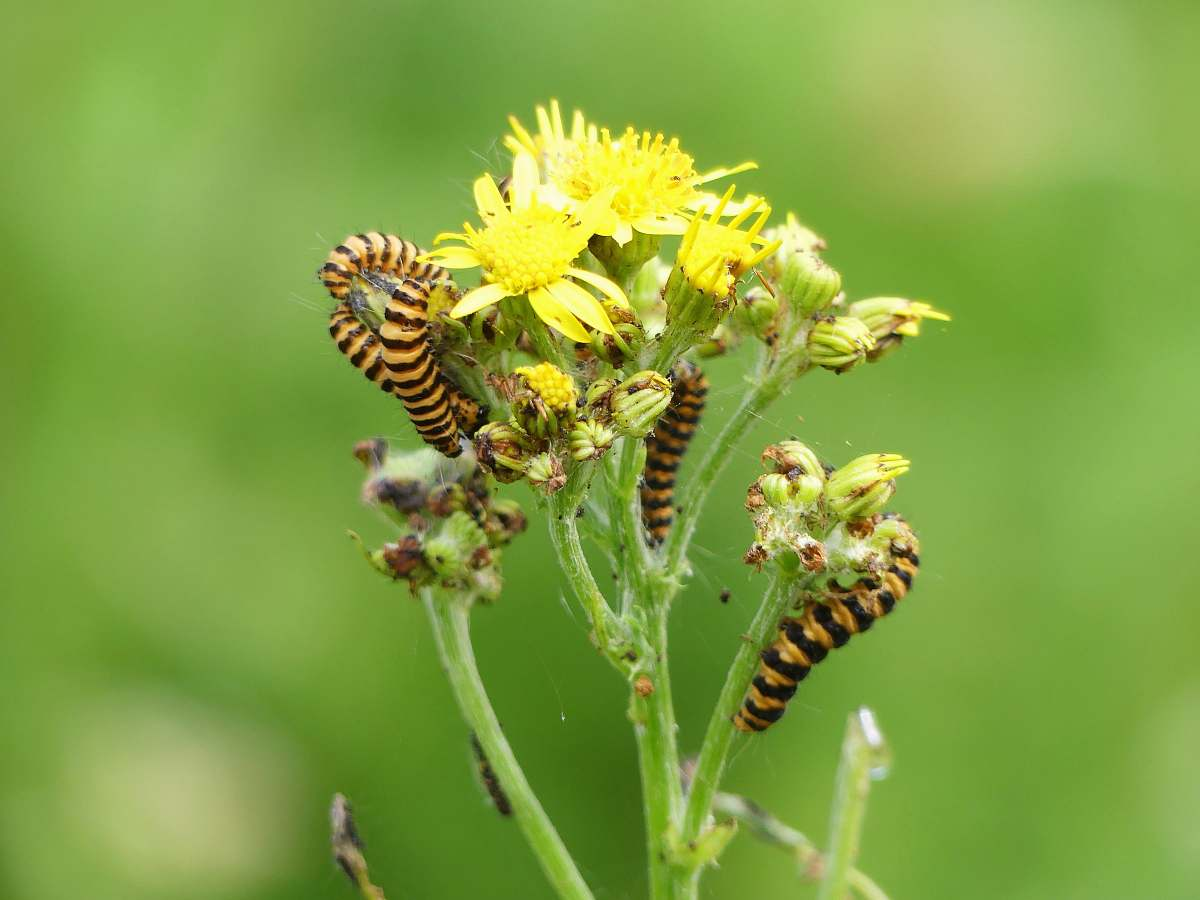 stock photos free  of bee close-up photo of black and yellow caterpillars on yellow petaled flower insect