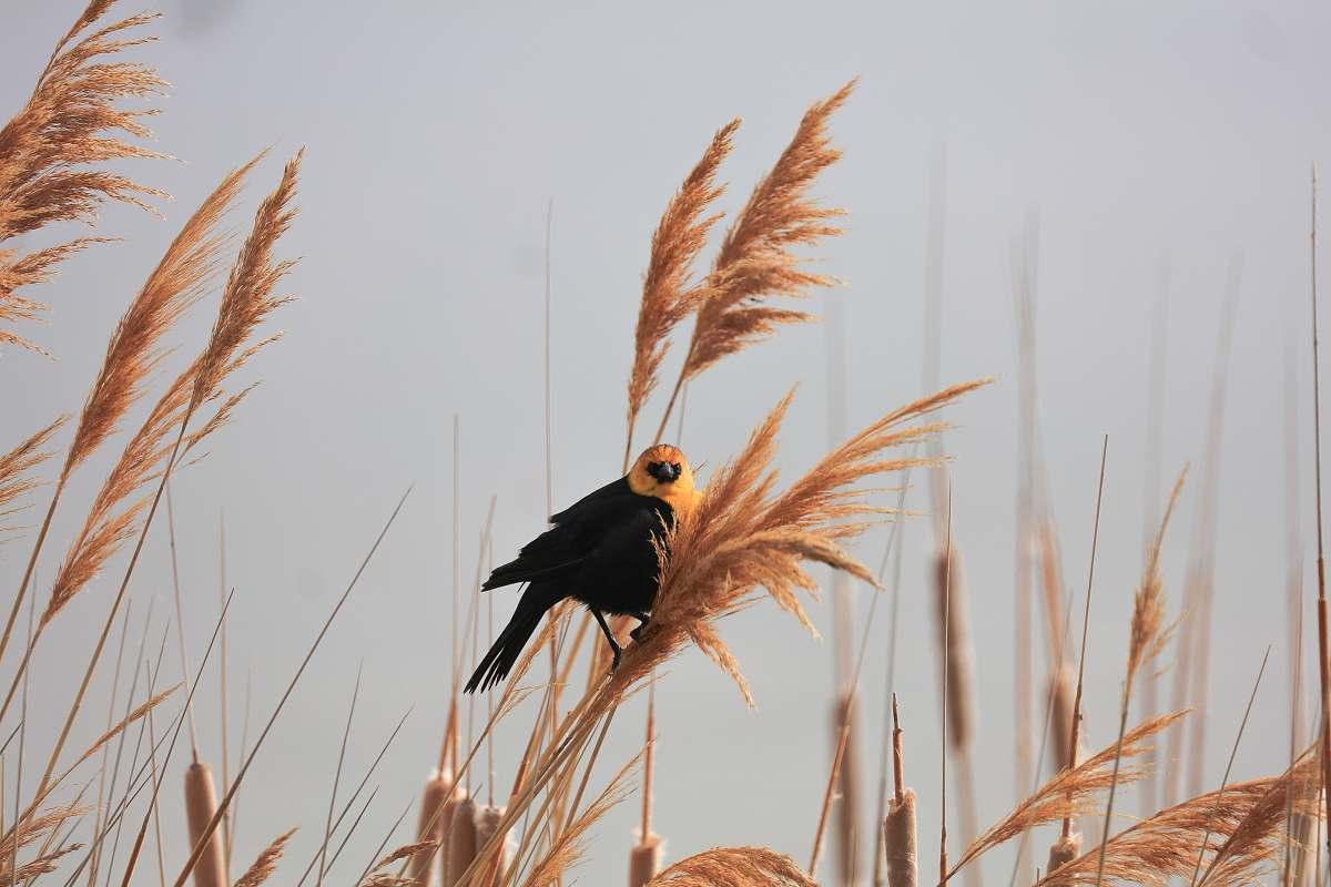 stock photos free  of bird closeup photography of black-and-yellow bird during daytime grass