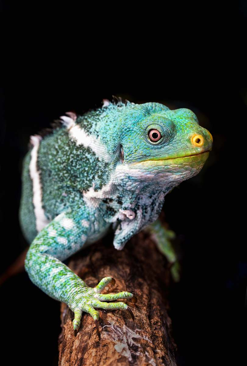 stock photos free  of reptile green and white iguana on tree branch closeup photography lizard