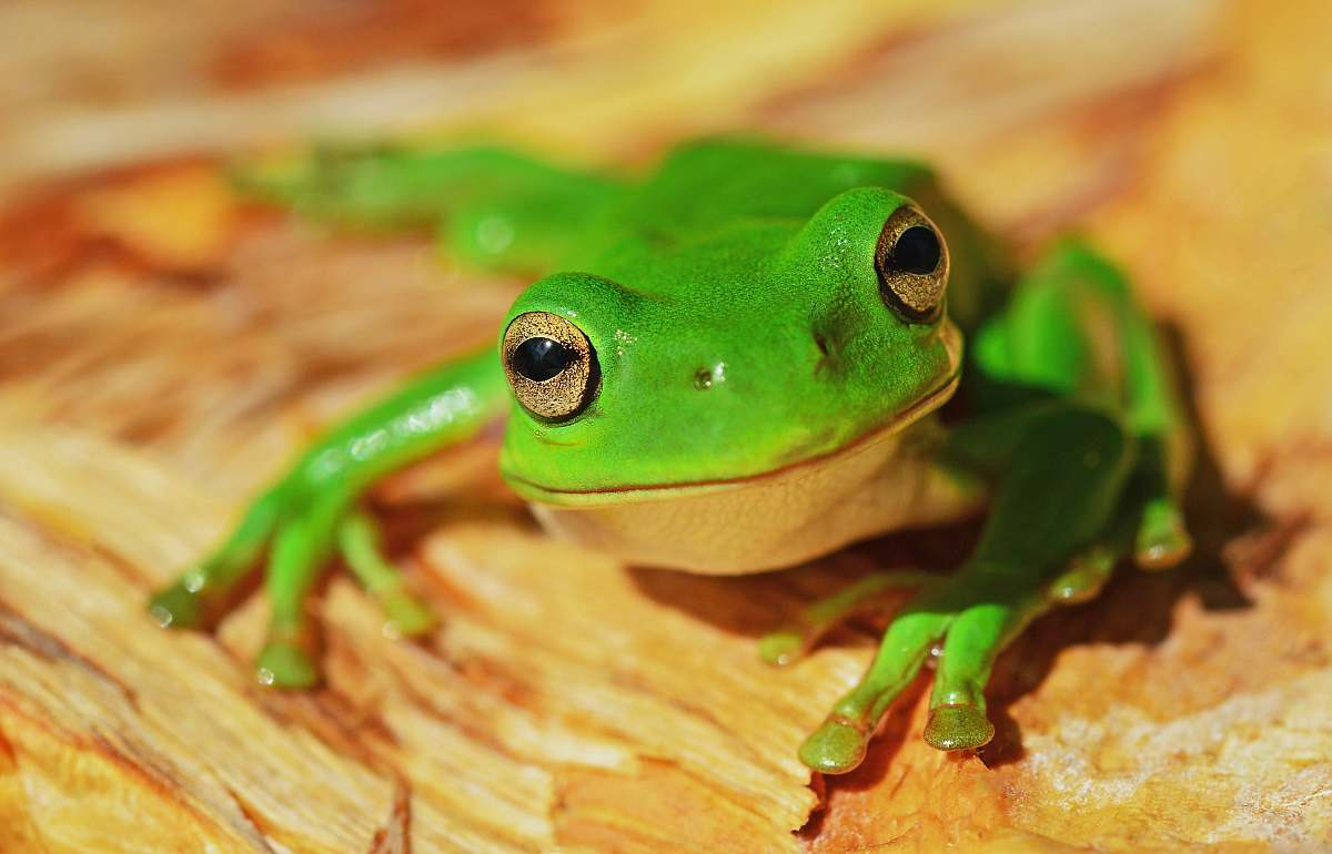 stock photos free  of frog green frog on wood amphibian
