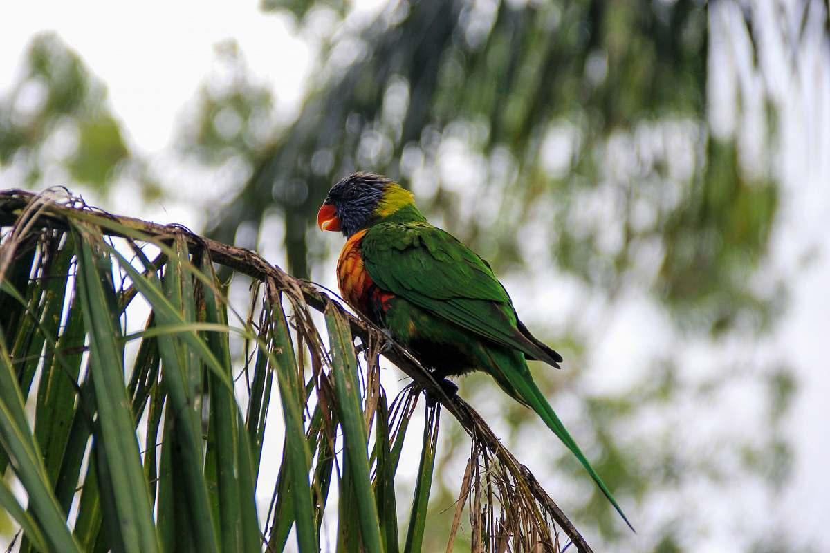 Bird Green Yellow And Blue Bird On Palm Leaf Australia Image Free Stock Photo