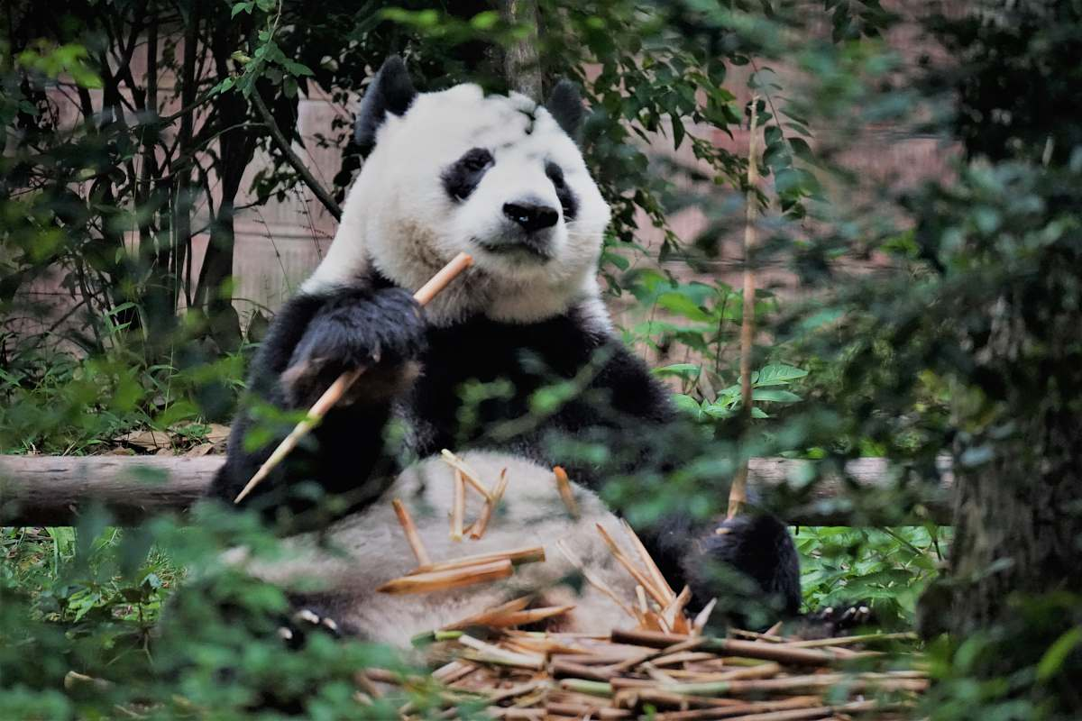 stock photos free  of wildlife Panda sitting on floor surrounded by trees bear