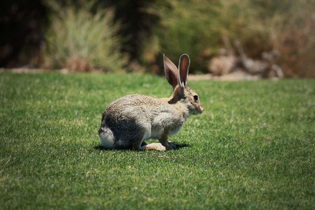 stock photos free  of mammal shallow focus photo of brown rabbit kangaroo