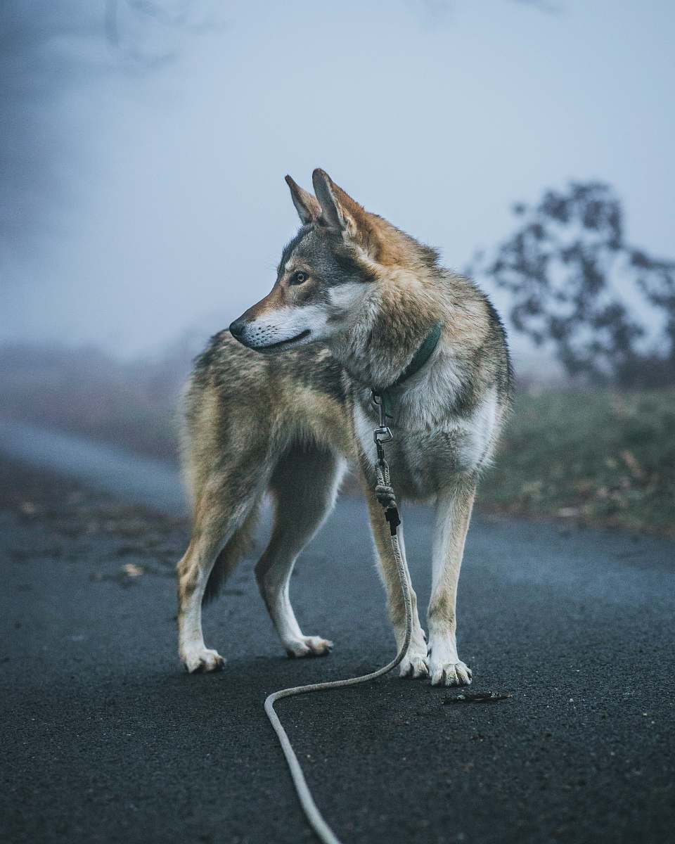 coyote as pet