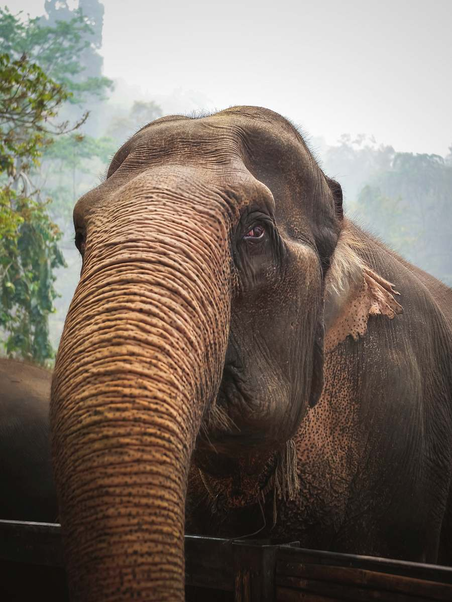 stock photos free  of mammal close-up photography of brown elephant elephant