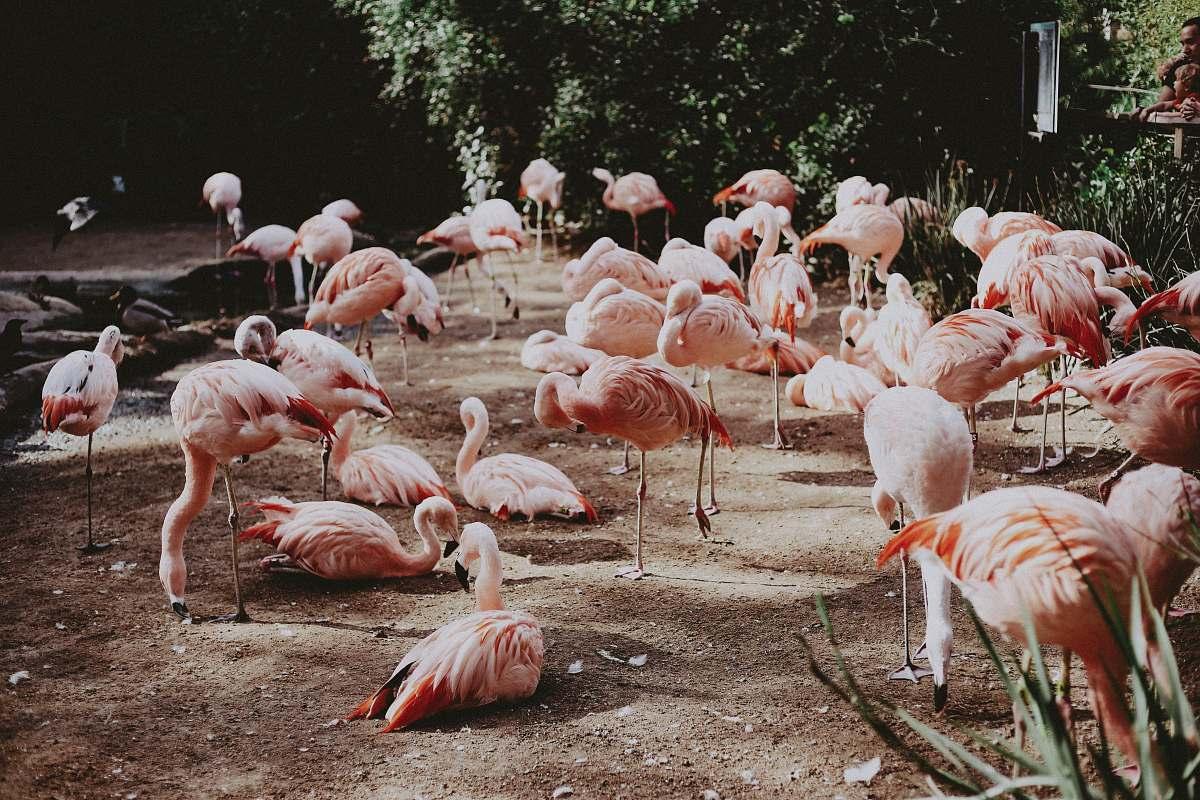 stock photos free  of bird pink birds on park flock