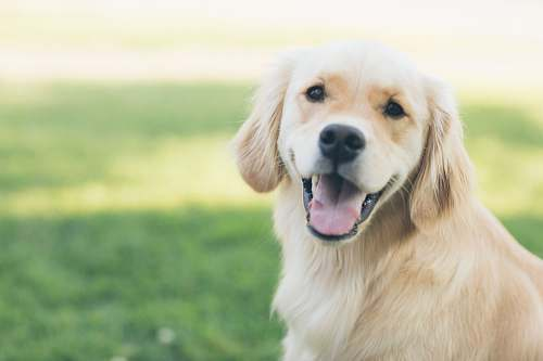 dog adultgolden retriever pet