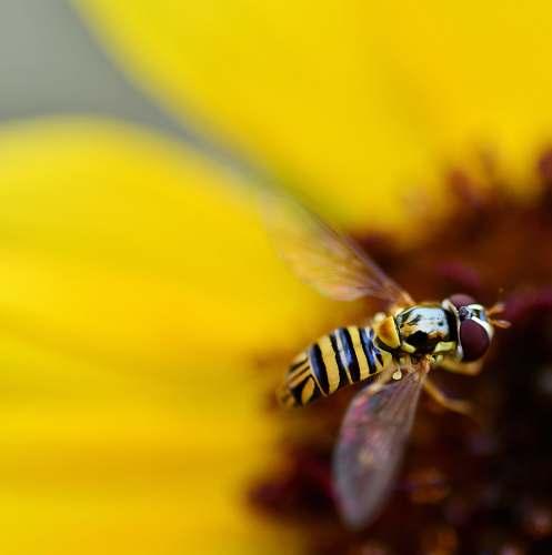 andrena bee pollinating flower bee
