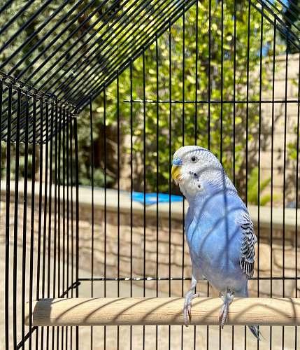 bird blue and white bird on brown wooden table parakeet