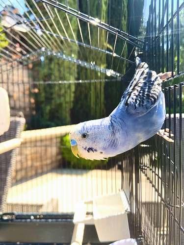bird blue and yellow bird in cage california