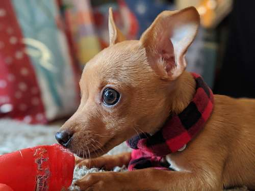 canine brown chihuahua wearing red and white scarf dog