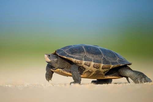 tortoise focused photo of a sea turtle walking on the seashore turtle