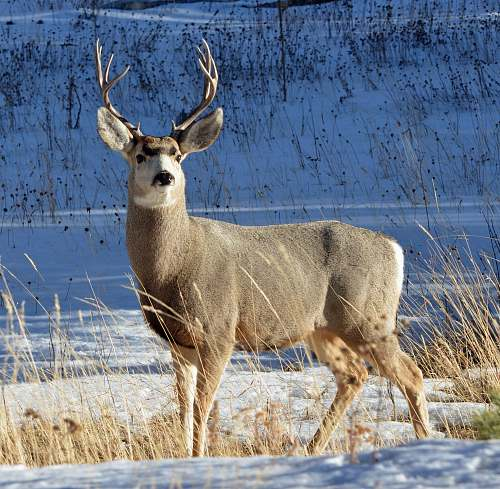 deer gray and white deer on snow field wildlife