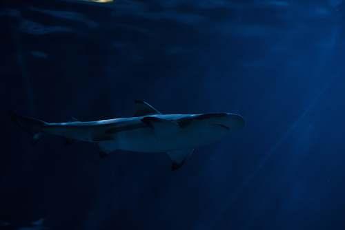 fish gray shark in body of water chicago