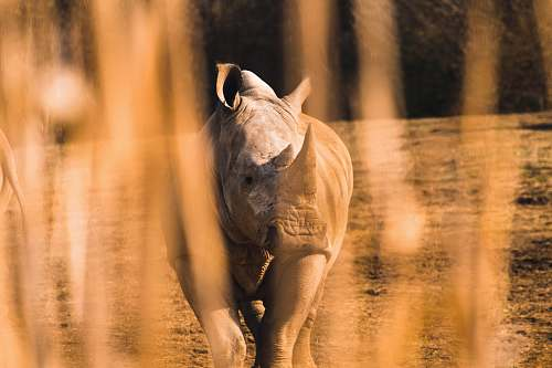 wildlife shallow focus of rhinocerus rhino
