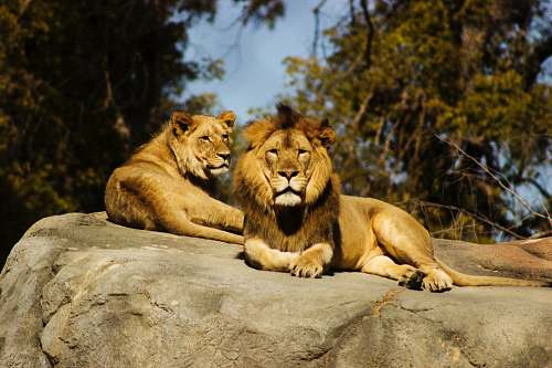 wildlife shallow focus photography of lion and lioness lion