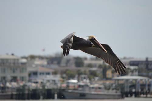 bird white and black pelican flying during daytime pelican